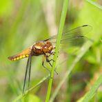 Plattbauchlibellen Weibchen
