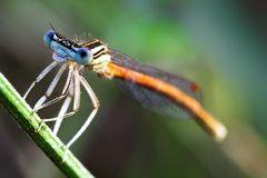 platycnemis acutipennis -macho-