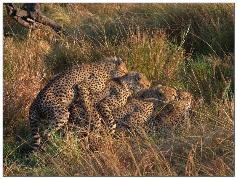 Playing Cheetahs - Übereinander / Durcheinander (reaload)