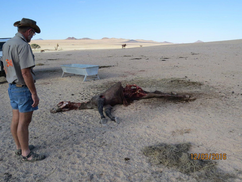 Please please help the wild desert horses13087143_1202354329795241_1884829727488106212_o