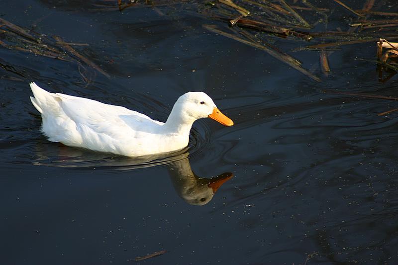 pliva patka preko bosuta