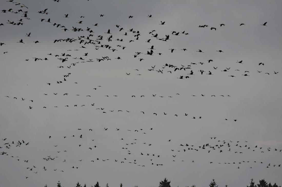 Plötzlich sind große Mengen von Kranichen in der Luft