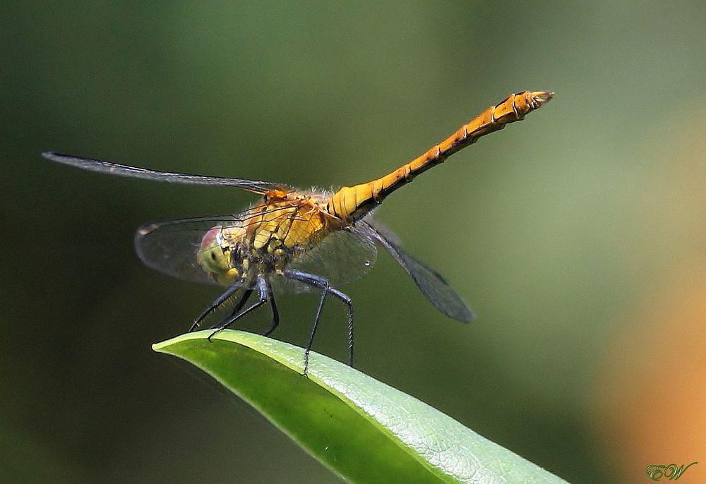 plötzlich war sie da... - eine 'Gefleckte Heidelibelle' - Weibchen - Sympetrum flaveolum