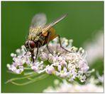 Plümche mit Fliege