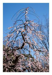Plum in full bloom-2