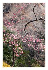 Plum in full bloom-3