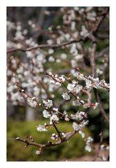 Plum in full bloom