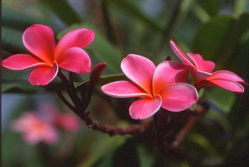 Plumeriablüten auf  Hawaii