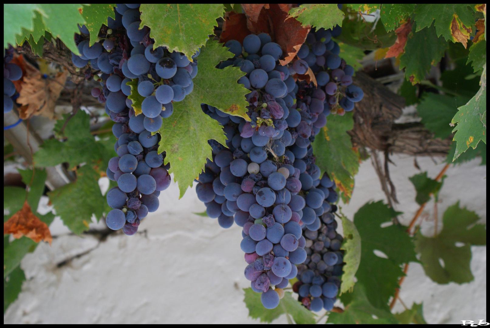 *Poca uva, molto vino*