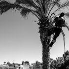 Podando palmeras