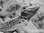 Pogona Vitticeps - Australische Bartagame