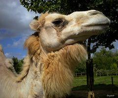 Poil de chameau