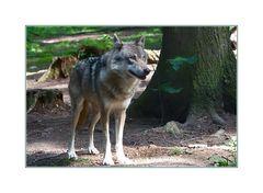 """""""Poing"""" ein Wolf"""
