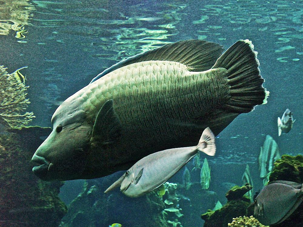 poisson napol on accompagn d un poisson licorne aquarium des lagons noum a photo et image. Black Bedroom Furniture Sets. Home Design Ideas