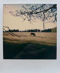 pola[pferd]