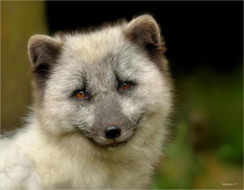 Polar fox ..