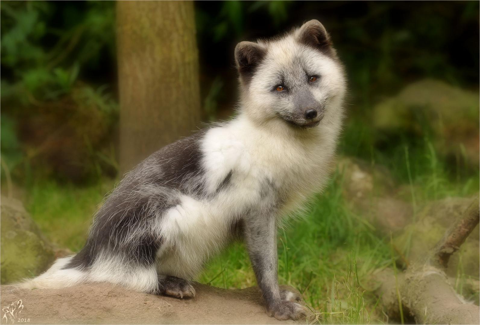 Polar fox (2) ..