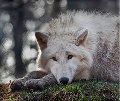 POLAR-Wolf-LICHT (2)