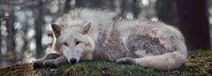 POLAR-Wolf-LICHT (3)