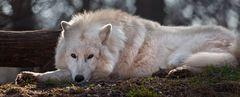 POLAR-Wolf-LICHT (4)