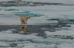 Polarbär     _DSC0524