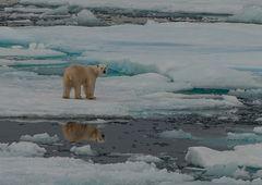 Polarbär  _DSC0526