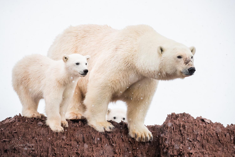 *polar.bear.life *