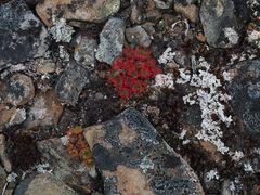 Polare Blüten    P8190526