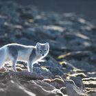Polarfuchs, Eisfuchs, Spitzbergen,