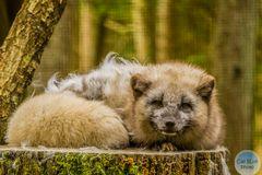 Polarfuchs im Wildpark Silz