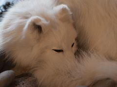 Polarfuchs noch im Winterkleid