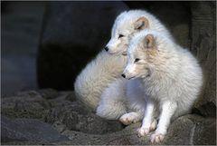 Polarfüchse....