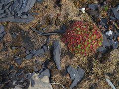 Polarpflanzen   P8150398