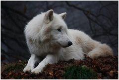 Polarwölfe 4
