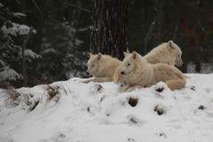 Polarwölfe...