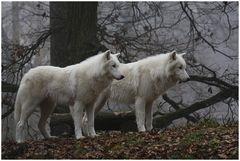 Polarwölfe im Morgennebel 1