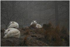 Polarwölfe im Morgennebel 2