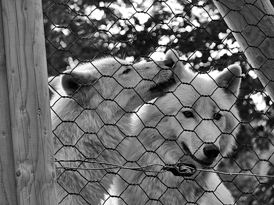 Polarwölfe von Werner Freund