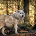 Polarwolf 6