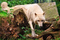 Polarwolf...