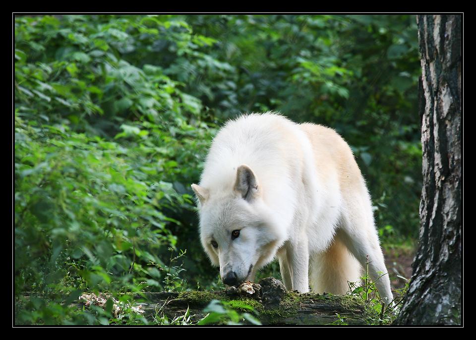 Polarwolf (Canis lupus arctos) ...