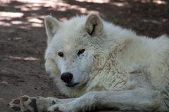- Polarwolf (Canis lupus arctos) -