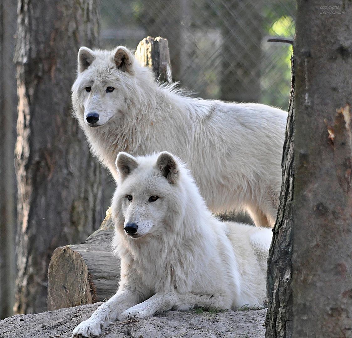 Polarwolf Dream Team