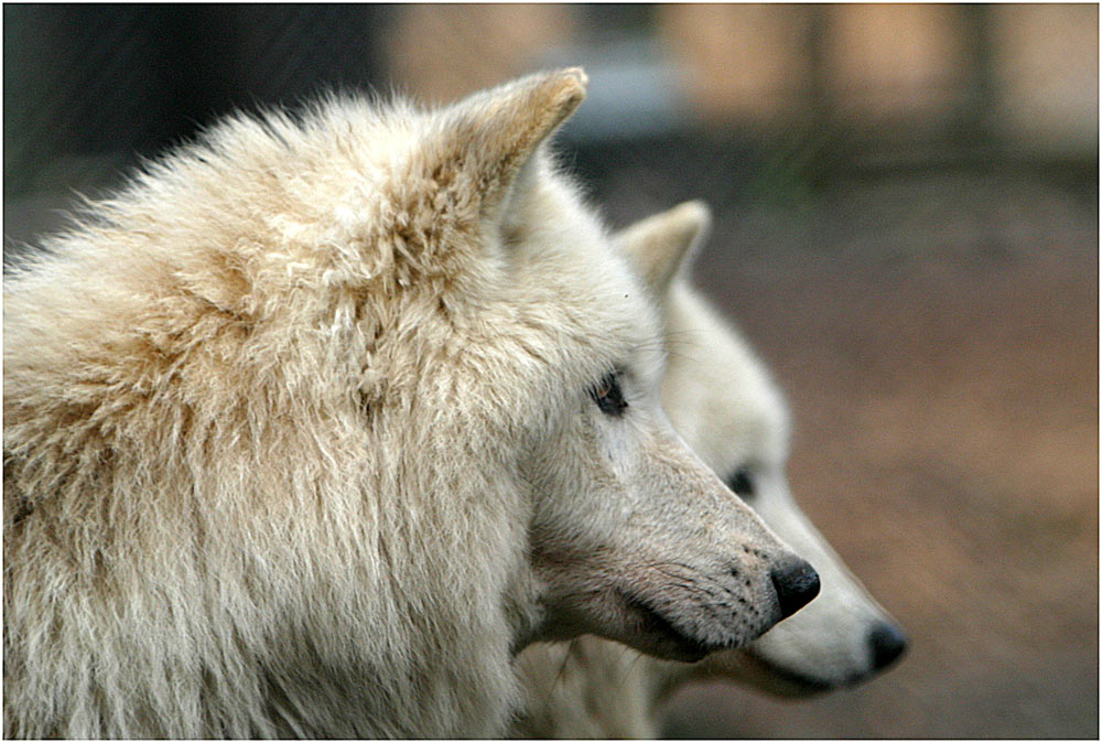 Polarwolf im Doppelpack