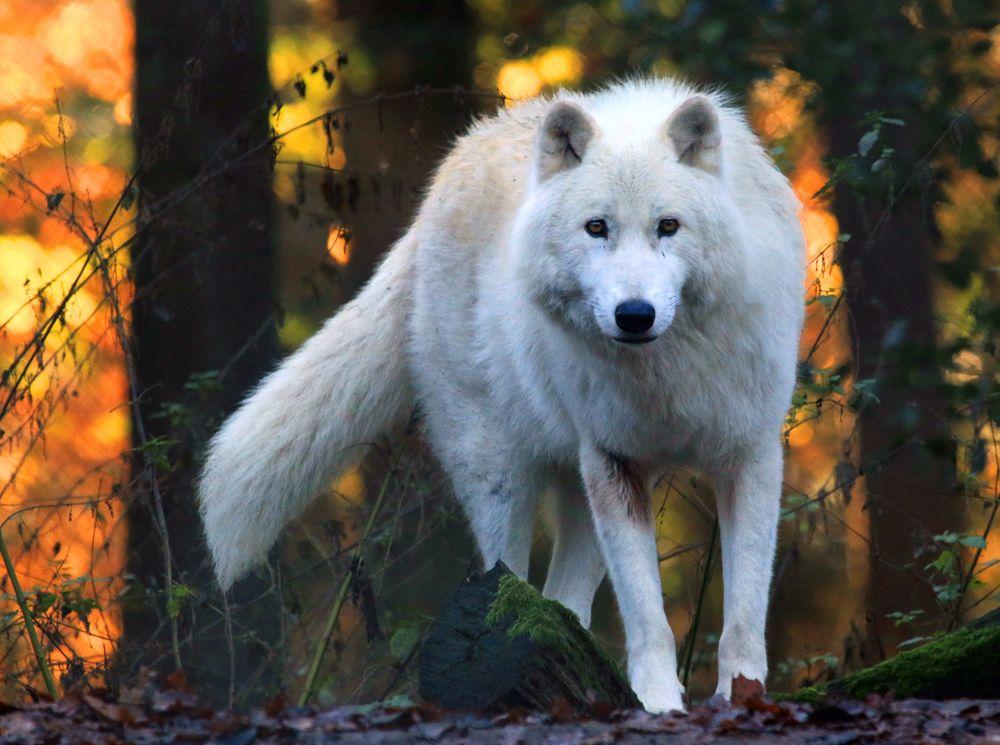 Polarwolf im Herbst