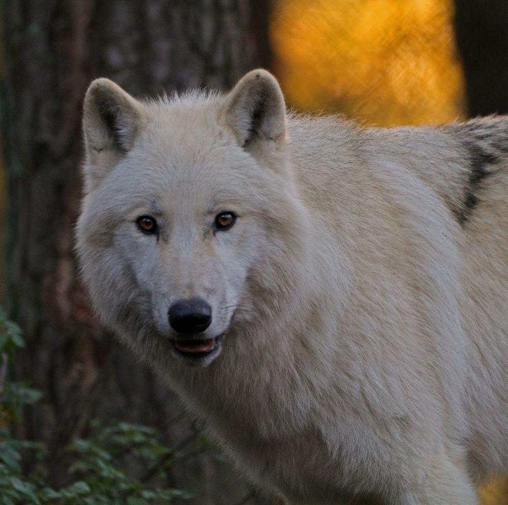 Polarwolf im Herbstlicht