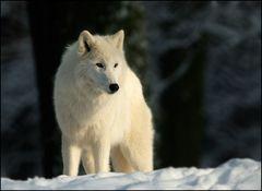 [ Polarwolf im Nachmittagslicht ]