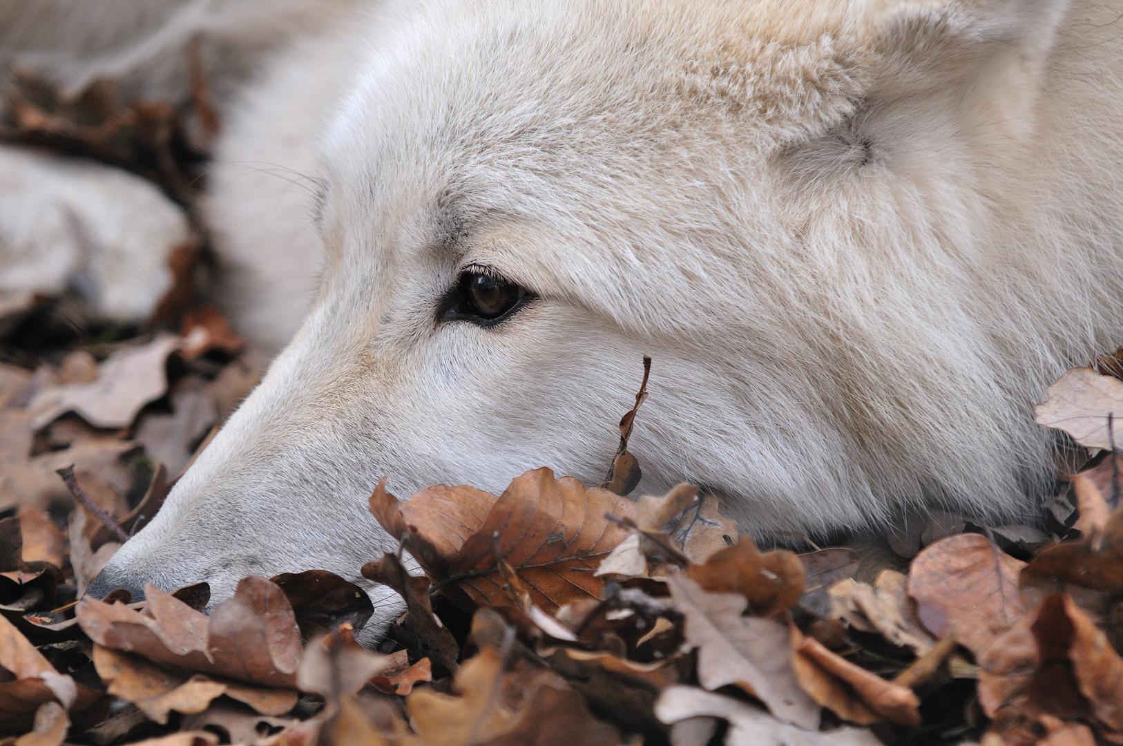 Polarwolf im Wildpark Klein-Auheim