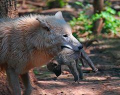 Polarwolf mit Wolfskind