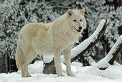 Polarwolf - Winter